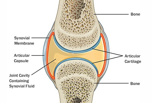 Image of the knee joint, connecting the femur and the tibia. The diagram shows the different structures within that joint that help stabilize and lubricate the joint.